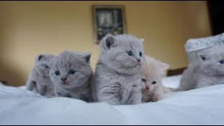 British Shorthair Kittens Compilation from Birth to 1 Month Old (Outstanding Cats Cattery, Litter A)