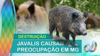 Invasão de javalis na zona rural de Capinópolis é tema de reportagem de tv