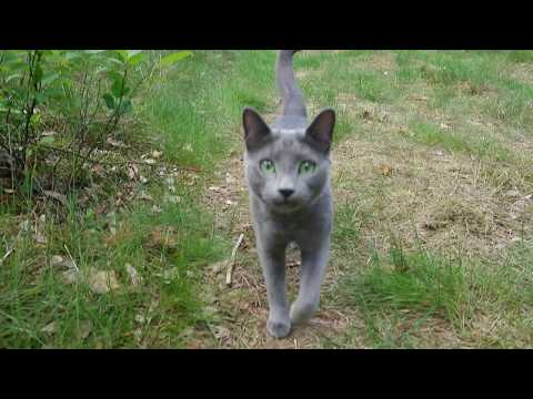 Caspian a Russian blue cat comes when called 00