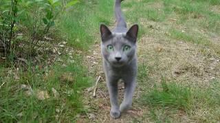 Caspian a Russian blue cat comes when called 00