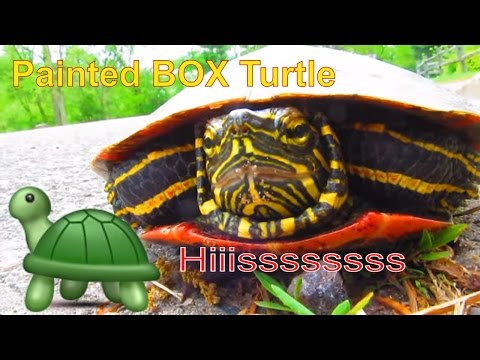 Annoyed Western Painted Turtle Hissing!