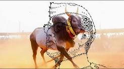Bull race at Chettipalli