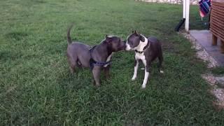 Pitbull meets an American Bully