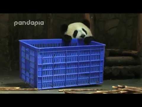 Panda bites the basket