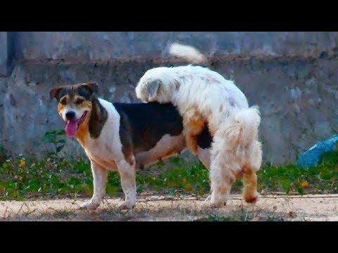 Doberman Pinscher Mix Vs Rhodesian Ridgeback Near Duck Farm Village | Street Dogs Meeting #014