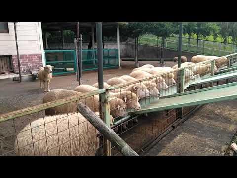 What do sheep's fed in Japan. Kodomono kuni