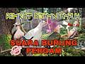 Suara Pikat Burung Pergam Paling Ampuh Dan Mujarab  Mp3 - Mp4 Download