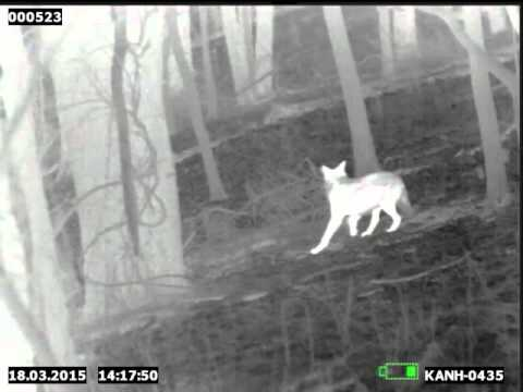 Coyote Hunting With Bow | ATN Thermal Rifle Scope