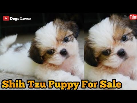 Shih Tzu Puppies Available For Sale 🐶   Cute Puppy For Sale 🐶   Toy Breed Pup For You