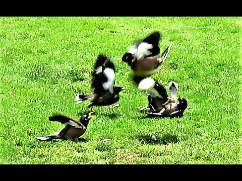 Birds gang fight