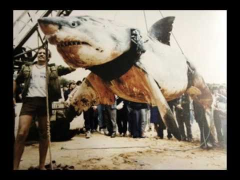 Monster Great White Shark - Largest Great White Shark ever Caught by Vic Hislop