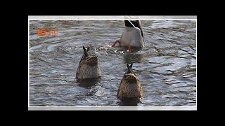 Снежный Ждун, щекастый бурундук и утки-синхронистки: выбираем лучшее фото апреля на E1.RU