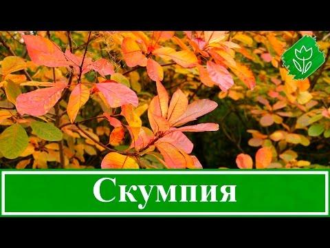Кустарник скумпия – посадка и уход, растение скумпия кожевенная – выращивание в Подмосковье