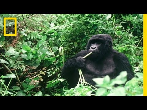 Winning the Battle for Endangered Gorillas in Africa's Oldest National Park | National Geographic