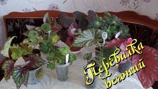 Перевалка  декоративно-лиственной бегонии в 4 этапа(Очередное видео о комнатных растениях из серии