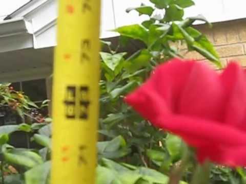Six Foot Long Stem Rose