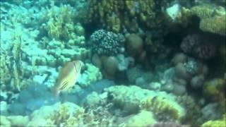 Все виды рыб Египта. Собрание опасных и не опасных рыб красного моря. Красивые рыбы Египта.(В этом видео я вам покажу и расскажу о всех видах рыб в Красном море. Как же они красивы!!!, 2015-06-21T21:08:48.000Z)