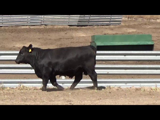 Connealy Angus Lot 162