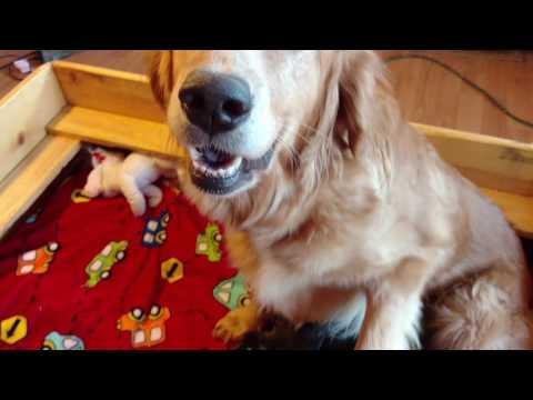 PuppyFinder.com : Godendoodle puppies