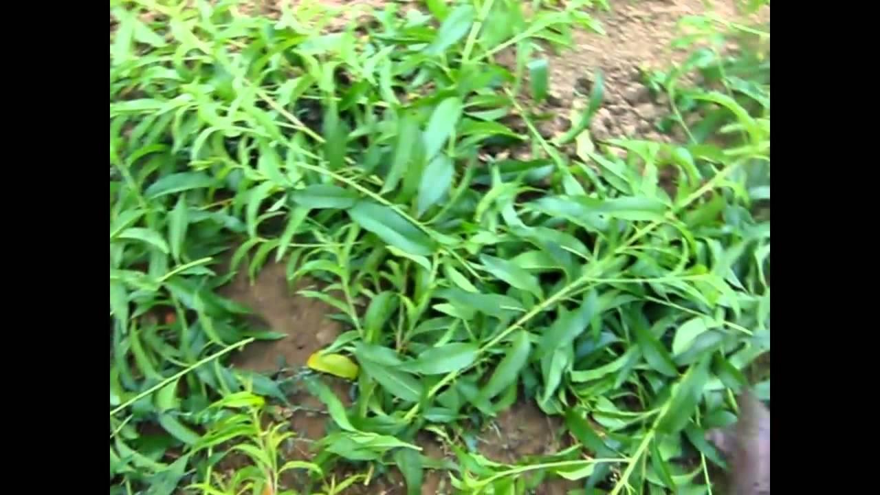 fű rövidlátáshoz
