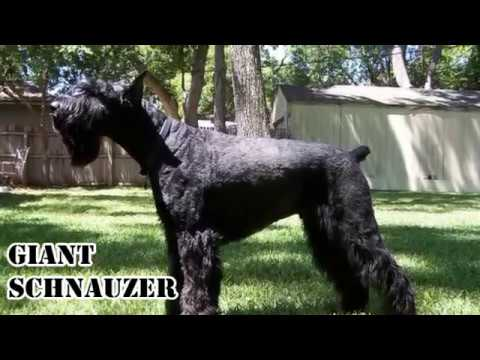 Top 10 Best Guard Dogs for Protection