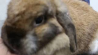 A rabbit passes smelly turbid urine