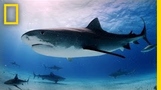 tiger sharks swimming with an awesome predator   national geographic