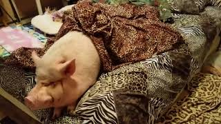 WE HAVE A NEW JINGLE! SAMMY IS NOT A MORNING PIG 😂