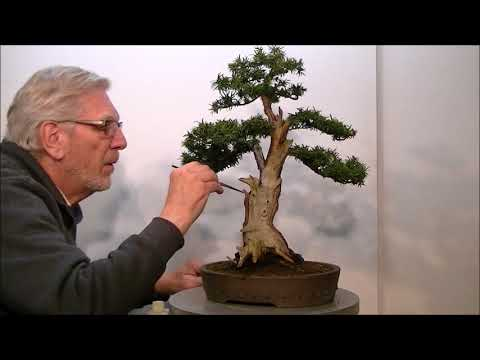 """How do you improve the presentation of Bonsai. """"The Taxus baccata""""."""