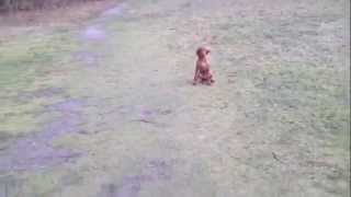 Vizsla Wire Haired Puppy 3,5 Months Old Practice For Hunting Training