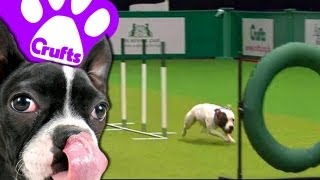 East Anglian Staffordshire Bull Terrier Display Team - Crufts 2013