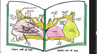 4. Nose Anatomy ( Nasal Cavity ) د. خالد ميلاد