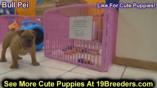 Bull Pei, Puppies, For, Sale, In, Jacksonville,florida, Fl,tallahassee,gainesville,