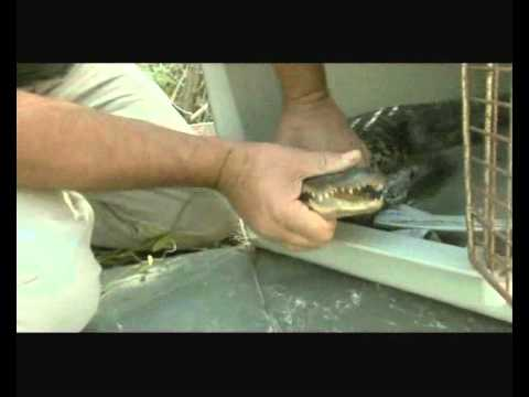 alligator kills burglar