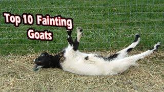 Top 10 fainting goats (funny fainting goats)