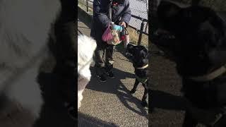 ファンのお散歩。 大好きなシジミ兄ちゃん(ラブラドール)とおやつを貰...