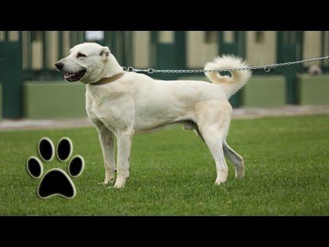 Türkiye Kökenli Akbaş Köpekleri