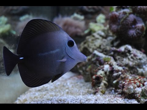 55g Reef Scopas Tang The Copy Of The Yellow Tang,  Marine Fish And Reef Safe