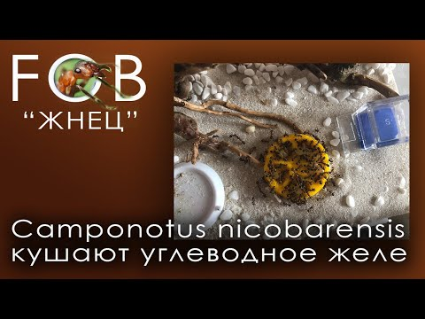 Camponotus nicobarensis кушают углеводное желе