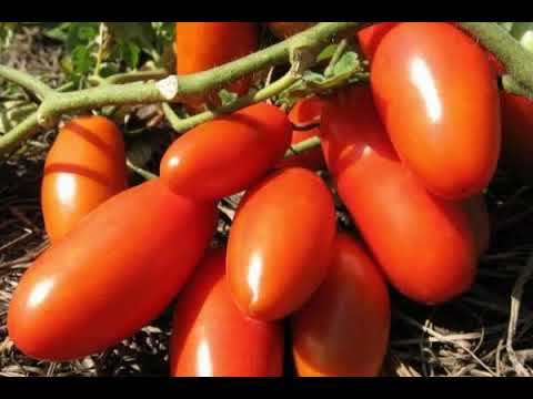 "СОРТ ТОМАТА -""Ни забот, ни хлопот"" - ОПИСАНИЕ СОРТА ТОМАТА -""Ни забот, ни хлопот"" | помидоры | открытом | хлопот | томаты | грунте | томат | забот | ни | в"