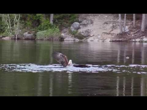 Vancouver Bald Eagle slams duck quiet