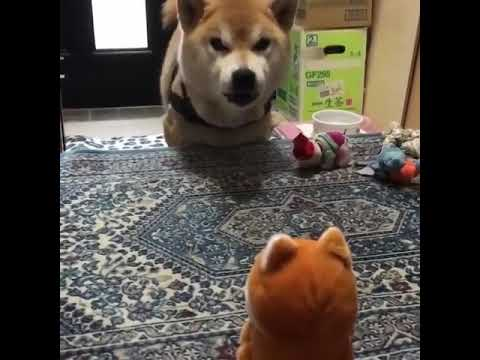 Tony Sandoval on The Breeze - Cute Japanese Dog is Barking at a Toy he mistook as a Real Dog.