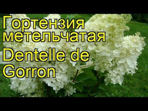Гортензия метельчатая Дентель де Горрон. Краткий обзор, описание характеристик