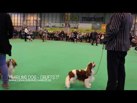 Yearling Dog CRUFTS´17 - Cavalier King Charles Spaniel