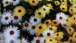 583 -How to grow n care Ice Plant/ Mesembryanthemum /Fig Marigold/Living Stone Daisy(Hindi )7/12