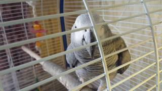 Разведение Жако. Новая пара обживает и охраняет гнездовой домик.