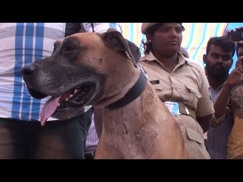 great dane breed dogs in vijayapur dog show 2019