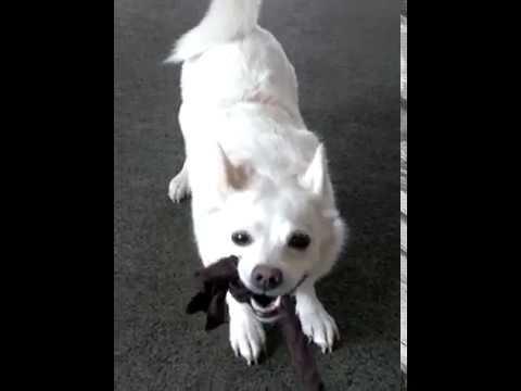 Rescue Dog- Spitz/Chihuahua-Mix