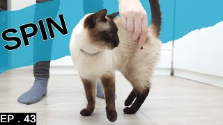 Teaching a Siamese cat spin and training old tricks