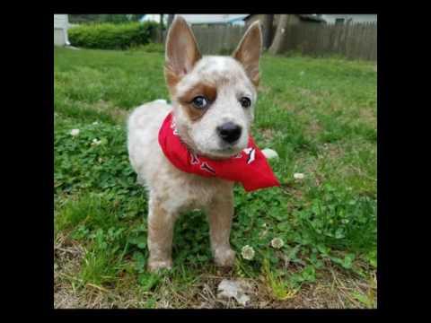 Meet our cute little red cattle dog
